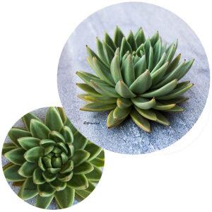 Succulents Potstands Set Of 2 (Succulent On Grey)